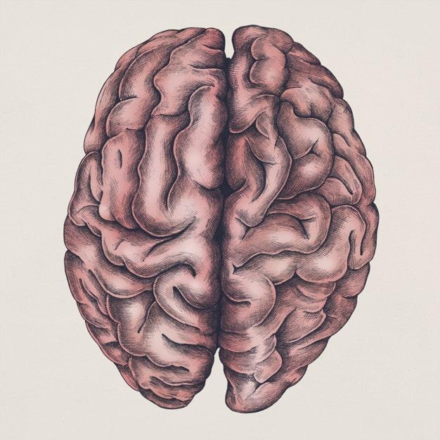 Accurate Brain Illustration