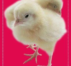 Free Chicken Chicks Design Mockup in PSD