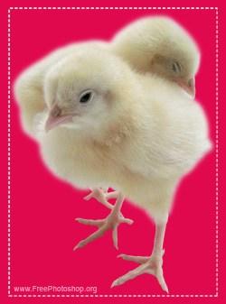 Chicken Chicks Design