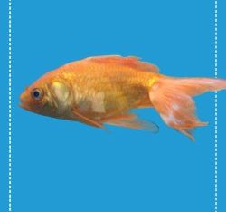 Free Realistic Digital Goldfish Mockup in PSD