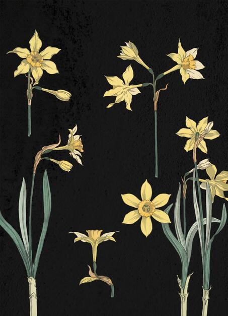 Narcissus Flower Illustration